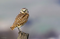 Posted up (Omnitrigger) Tags: burrowingowl