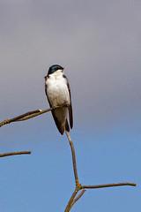 Tree Swallow (Delta Naturalists Casual Birding) Tags: 201414 dncb colony dncblocation