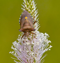 Shield Bug Pentatoma Rufipes (Ivan Lynas Nature Photography) Tags: