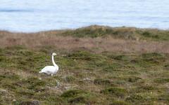 Lone Swan _6162 (hkoons) Tags: atlantic iceland bay beach birds feathers fiord fjord flight fly inlet island nest nests northeast ocean saltwater sand sea seabirds surf swan water waves wings shfn