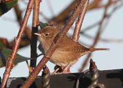 House Wren (Troglodytes aedon) 11-12-2016 Ocean City--Sunset Park, Worcester Co. MD (Birder20714) Tags: birds maryland wrens troglodytidae troglodytes aedon