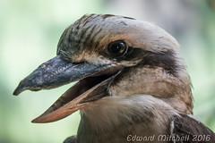 Kookaburra (Edward Mitchell) Tags: animals seattle washington woodlandparkzoo zoo bird kookaburra