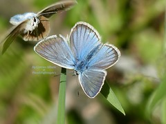 Your support is needed ! - Polyommatus icarus (Thrush-Nightingale) Tags: argus bleu azuré commun bugrane common blue polyommatus icarus papillon butterfly lépidoptère insecte animal wildlife argusbleu azurécommun azurédelabugrane commonblue polyommatusicarus