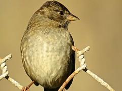 Golden-crowned Sparrow (morroelsie) Tags: goldencrownedsparrow sparrow morrobaybirds birdonawire morrobay centralcoast centralcoastbirds morroelsie