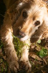 #curro #2015 #pizarra #málaga #andalucía #españa #spain #perro #dog #cocker #cockerspaniel #animal #miprincipe #love #naturaleza #nature #senderismo #trecking #jugar #play #juego #game #piña #pineapple #photography #photographer #sonyalpha #sonyalpha350 # (Manuela Aguadero) Tags: españa juego piña senderismo photography spain cocker love miprincipe sonya350 nature sonyalpha trecking photographer curro naturaleza animal sonyalpha350 pizarra 2015 play jugar game perro cockerspaniel andalucía pineapple dog málaga alpha350