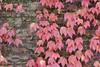 the wall (stefanorasicaldogno) Tags: parthenocissus tricuspidata vite americana colori autunnali