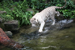 (Barry Zee) Tags: canon5dsr 5dsr whitetiger 70200mmf28 canon water