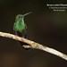 Bronze-tailed Pluemeleteer, Chalybura urochrysia