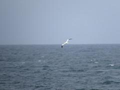 IMG_2608 (Marko_J_Aho) Tags: bird chesilbeach dorset england gannet morusbassanus portland suula
