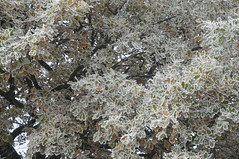 Überfrorener Herbst - Stieleiche (Quercus robur); Bergenhusen, Stapelholm (127) (Chironius) Tags: stapelholm bergenhusen schleswigholstein deutschland germany allemagne alemania germania германия niemcy rosids fabids buchenartige fagales buchengewächse fagaceae eiche quercus stieleiche baum bäume tree trees arbre дерево árbol arbres деревья árboles albero oak chêne дуб roble quercia rovere ek carvalho meşe eik árvore ağaç boom träd deutscheeiche quercusrobur reif laub herbst herfst autumn autunno efteråret otoño höst jesień осень