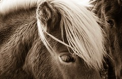 Regard (Look) (Larch) Tags: cheval horse regard expression sépia islande iceland péninsuledesnaefellsnes snaefellsnes crinière mane oreille ear oeil eye mouillé wet sepia
