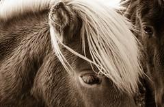Regard (Look) (Larch) Tags: cheval horse regard expression spia islande iceland pninsuledesnaefellsnes snaefellsnes crinire mane oreille ear oeil eye mouill wet sepia