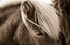 Regard (Look) (Larch) Tags: cheval horse regard expression sépia islande iceland péninsuledesnaefellsnes snaefellsnes crinière mane oreille ear oeil eye mouillé wet sepia