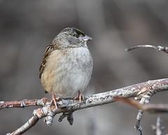 Golden-crowned sparrow (jlcummins - Washington State) Tags: bird yakimacounty yakimaareaarboretum washingtonstate nature goldencrownedsparrow birdwatching birding