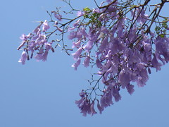 A branch of delicate purple (prondis_in_kenya) Tags: kenya nairobi shortrains jacaranda blossom bloom flower purple tree