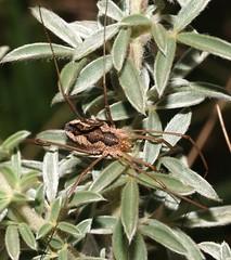 Harvestman (Unidentified) (SteveInLeighton's Photos) Tags: zmeitsa unidentified harvestman bulgaria rhodopes rodopi september 2009 opiliones yagodina