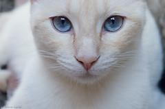Hypatia (celesblur) Tags: gatos gato cats cat red ponit siames blue eyes argentina nikon d5100 white blanco