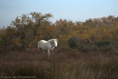 _DSC5569_v1 (Pascal Rey Photographies) Tags: digikam digikamusers linux ubuntu opensource freesoftware chevaux horses caballos pferden chevauxcamarguais camarguais arles camargue bouchesdurhône sud delta