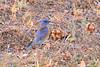 Western Bluebird (2055) (Bob Walker (NM)) Tags: bird sialiamexicana webl westernbluebird cbc christmasbirdcount2016 whiterock newmexico usa