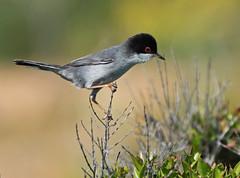 Sardinian Warbler (vil.sandi) Tags: italy sicilia sylviamelanocephala sardinianwarbler samtkopfgrasmücke riservanaturaleorientataoasifaunisticadivendicari vendicarinaturreservat