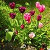 6114 Tulpen tulips (Fotomouse) Tags: pink flowers nature garden natur rosa blumen lila lilac garten frühlingsblumen springflower purble tulipsblossom fotomouse tulpenblüten