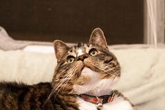Fly Stalking (juliafrenchfrey) Tags: pet cats pets cute animal animals socks cat kitten americanshorthair tabby kittens