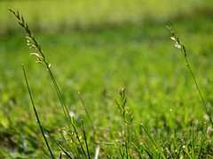 Weeds in Grass (hch1195) Tags: grass weed lawn