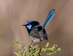 Superb Fairy Wren (Mykel46) Tags: blue birds canon wren 1dx