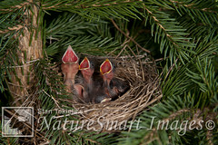 Clay-colored Sparrow nest with babies Tekiela TEK3852.jpg (Stan Tekiela's Nature Smart Wildlife Images) Tags: wild copyright usa nature minnesota birds animals critter wildlife unitedstatesofamerica birding feathers images stockphotos professionalphotographer avian digitalimages stockimages naturalist claycoloredsparrow stockimage stantekiela allrightsreservered naturesmartwildlifewordsandimages avianbirdsfeathersbirdingwildlife minnesotaunitedstatesofamericausa stantekielacopyrightallrightsreserveredstockimagepro stantekielacopyrightallrightsreserveredstockimageprofessionalphotographerimageswildlifeanimalsnaturenaturalistwildstockphotosdigitalimagescopyrightcritter