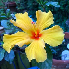 Hibiscus - new flower (olivierbxl) Tags: windows sun mobile nokia spring phone sunny microsoft rays sunrays 1020 windowsphone lumia pureview wpphoto shotonmylumia shotonlumia