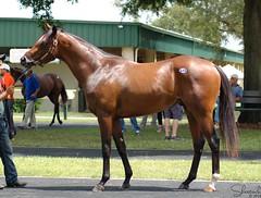 OBS June Sale '14 (Shazstock) Tags: horse black dark grey bay mare florida sale farm gray racing chestnut stable colt stallion thoroughbred equine roan ocala filly sorrel breeder gelding