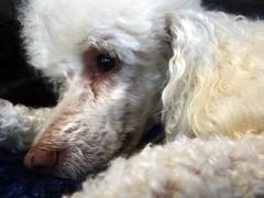 30/52 Sleepy Andy (Bella Lisa) Tags: poodle rescuedog miniaturepoodle 52weeksfordogs