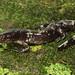 Ringed Salamander, Metamorph