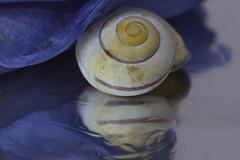 snail under mallow leaf (Xtraphoto) Tags: blue art yellow canon eos mirror spiegel kunst snail schnecke 30d fotoart fotokunst