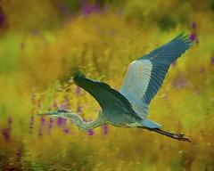 Walkill Bue (Feathered Trail Photos) Tags: blue heron great gbh mfcc walkill mynj heronnwr