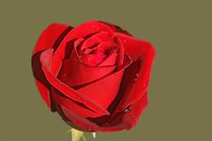 Feliz Dia! :) (Zéza Lemos) Tags: flowers flores water rose água canon drops natureza natur flor rosa drop gotas algarve capture rosas vilamoura pétalas