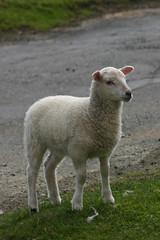 Fair Isle Lamb