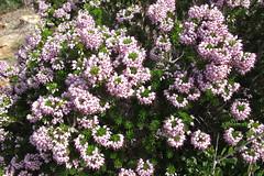 Foxglove (Florence3) Tags: flowers sicily foxglove egadiislands levanza