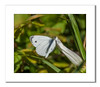 Green-veined White Butterfly (Travels with a dog and a Camera :)) Tags: uk england white southwest west macro art digital photoshop butterfly bristol pentax south july cc ii di if af 55 tamron xr ld lightroom 2014 greenveined 18200mm napi artogeia greenveinedwhitebutterfly k30 f3563 artogeianapi asperical justpentax pentaxart pentaxk30 tamronaf18200mmf3563xrdiiildaspericalifmacro photoshopcc2014 lightroom55