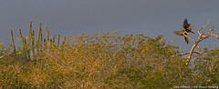 Lear's Macaw - Anodorhynchus leari