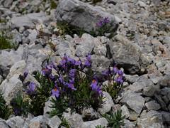 Alpen-Leinkraut / Alpine toadflax (rudi_valtiner) Tags: alps austria sterreich blossoms alpen autriche rax blten alpineflowers alpenblumen linariaalpina alpenleinkraut alpinetoadflax altenbergsteig altenbergsteig2014