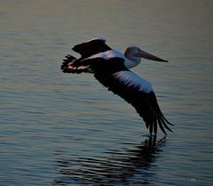 DSC_0021 (3) (RUMTIME) Tags: bird nature birds fly flying flight feathers feather pelican queensland coochie coochiemudlo