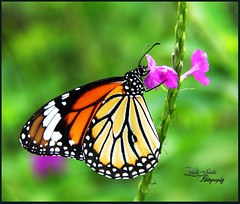 Stripped Tiger Butterfly  #yashsavlaphotography #picoftheday #butterfly #butterflypark #beautiful #nature #colourful #butterflyphotography #butterfliesofindia #thane #insect #insectphotography   #like4like #follow4follow #min20likes #creativephotography # (Yash Savla) Tags: nature beautiful butterfly insect wildlife colourful thane picoftheday followme naturelovers butterflypark creativephotography insectphotography butterflyphotography strippedtiger followmefollowyou butterfliesofindia natureinside wildernessculture natureskingdom follow4follow like4like wildlifeperfection ngma2014 yashsavlaphotography min20likes natgeophotooftheday