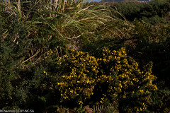 Isles of Scilly, Tresco Abbey, ulex, Ulex europaeus gorse furze whin, jdy261 XX201109188651.jpg (rachelgreenbelt) Tags: uk greatbritain england europe cornwall unitedkingdom fabaceae gorse islesofscilly leguminosae floweringplants furze peafamily whin ulex dicots eudicots fabales flowersyellow orderfabales familyfabaceae rosids beanfamily ulexgallii legumefamily dicotyledons westerngorse commongorse divisionmagnoliophyta fabaceaefamily trescoabbey dwarffurze fabalesorder