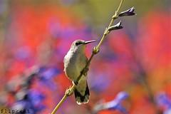 Beautiful Dreamer (flipkeat) Tags: pink nature gardens closeup pretty different hummingbird bokeh background wildlife sony awesome like canadian og ruby immature hummer birder avian eyecandy oakville jewel gairloch archilochus colubris throated a500