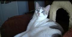 Conny (Diary of a Feral Cat) Tags: boss cats pets animals alan cat de apache diary tiger gatos el foster napoli brave tigre diario goku darky herdy gerdy amedia trign