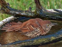 P1100840_edited-2 (lbj.birds) Tags: bird nature wildlife kansas flinthills thrasher brownthrasher