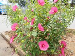 Izunoheso Roadside Station (izunavi) Tags: flower japan   shizuoka izu    shizuokaprefecture   izunokuni  route136 roadsidestation   izunokunicity  izuphoto   136