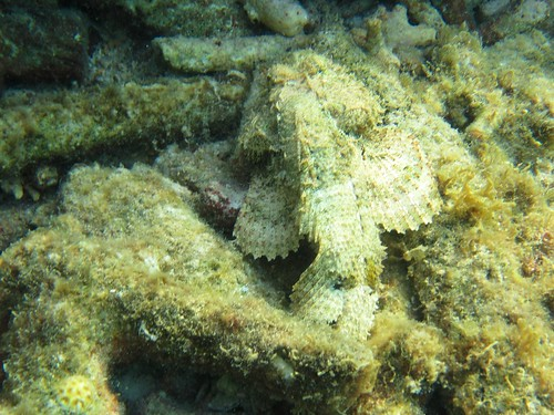 can you spot the spotted scorpionfish?