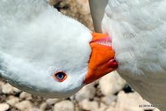 DSC_0308-002 (rachidH) Tags: sea lake birds geese mediterranean hellas ducks goose greece waterfowl kefalonia canard oiseaux muscovy oie karavomylos rachidh melissany